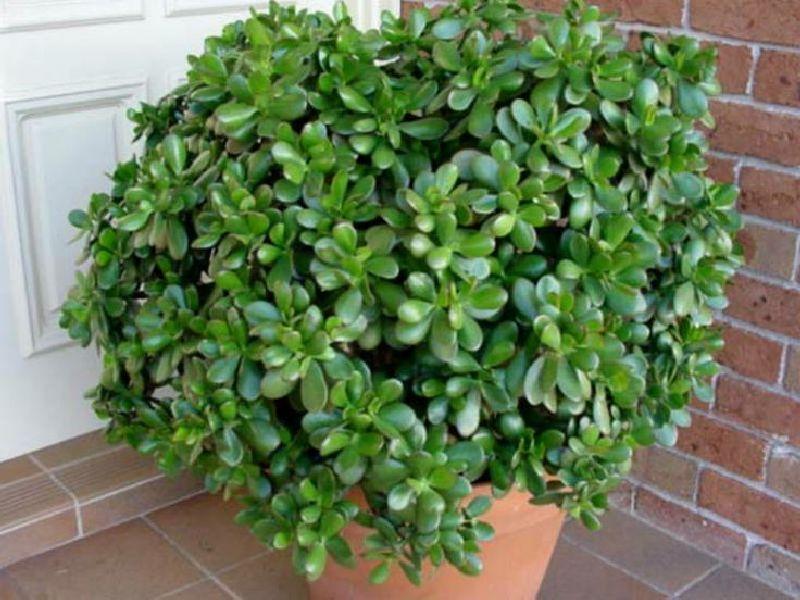 Arborele de jad sau planta banilor adela p rvu for Enanos jardin traen mala suerte
