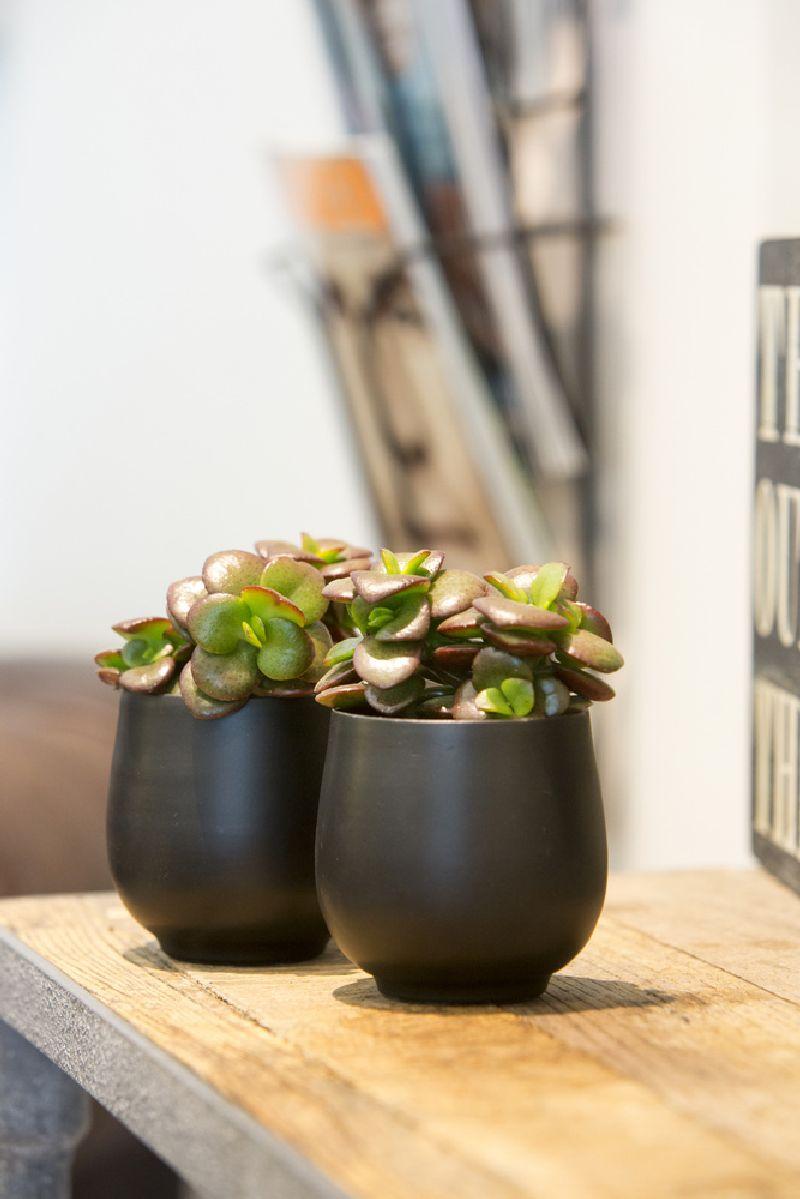 adelaparvu.com despre Crassula ovata, arborele de jad sau planta norocoasa, Text Carli Marian (2)