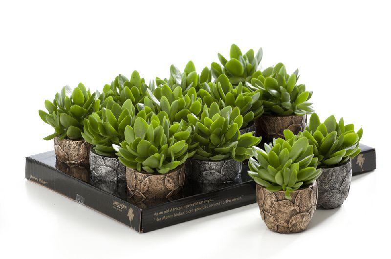 adelaparvu.com despre Crassula ovata, arborele de jad sau planta norocoasa, Text Carli Marian (4)