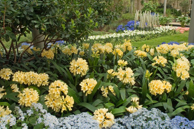 adelaparvu.com despre planta Clivia, Text Carli Marian (1)
