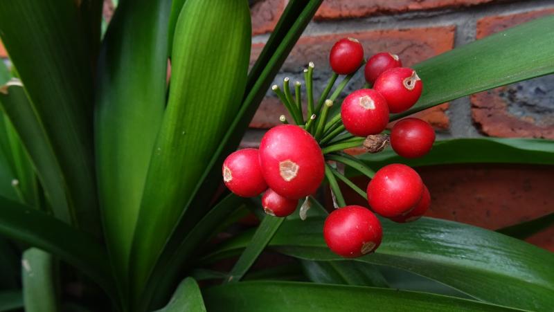 adelaparvu.com despre planta Clivia, Text Carli Marian (2)