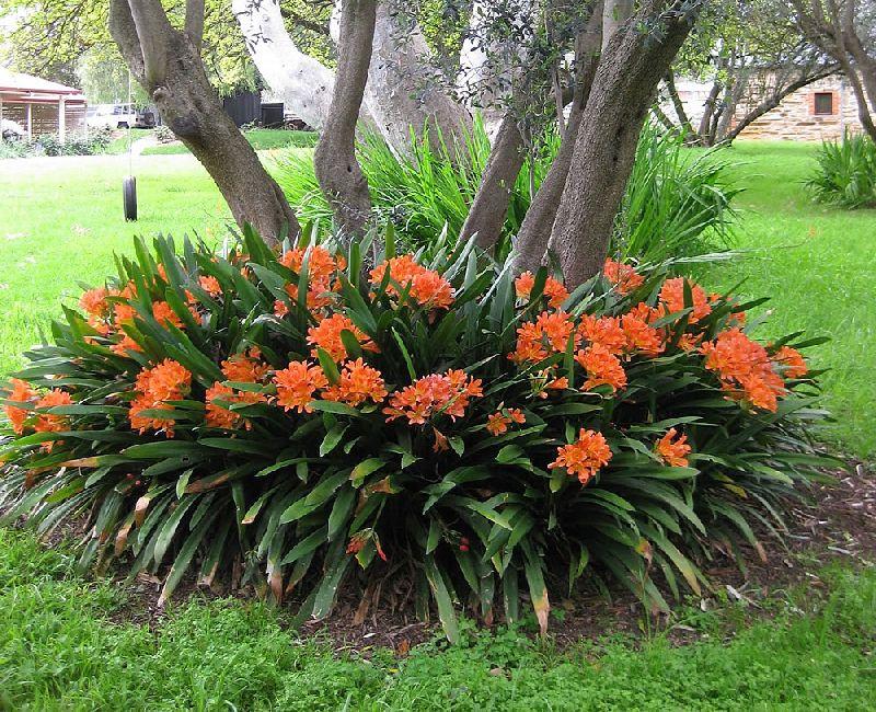 adelaparvu.com despre planta Clivia, Text Carli Marian (3)