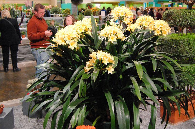adelaparvu.com despre planta Clivia, Text Carli Marian (4)