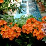 adelaparvu.com despre planta Clivia, Text Carli Marian (5)
