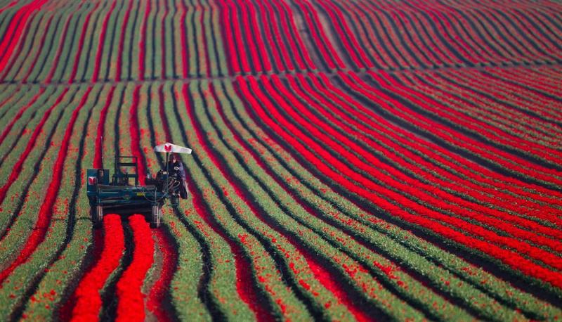 adelaparvu.com despre drumul lalelelor de la cultivare la recoltare, Sera Munster Olanda,Text Carli Marian (13)