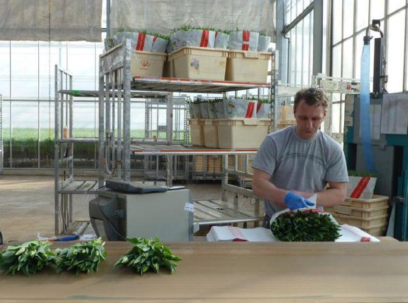 adelaparvu.com despre drumul lalelelor de la cultivare la recoltare, Sera Munster Olanda,Text Carli Marian (9)