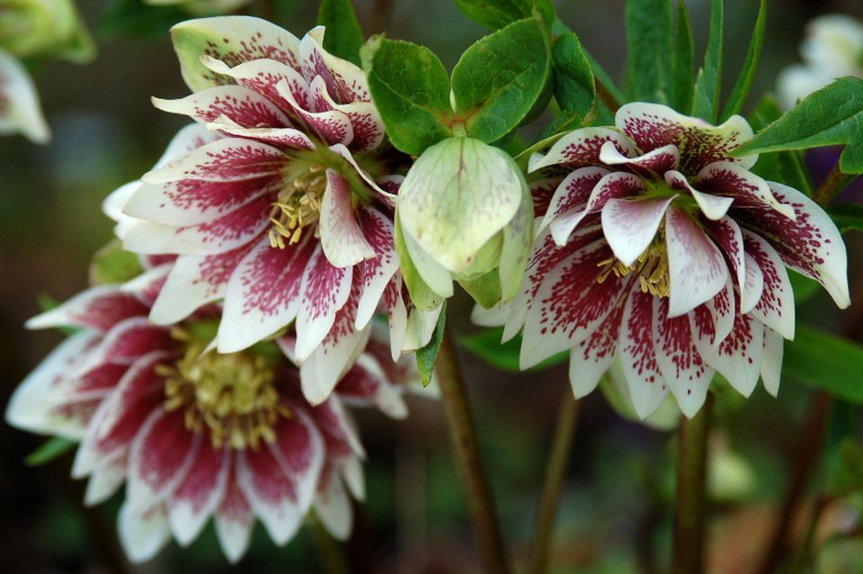 Helleborus Painted Doubles