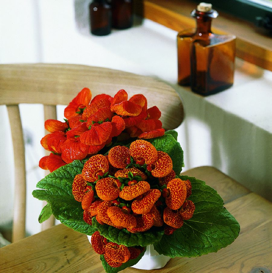 adelaparvu.com despre Calceolaria sau Papucul doamnei, Text Carli Marian, Foto Floradania (2)