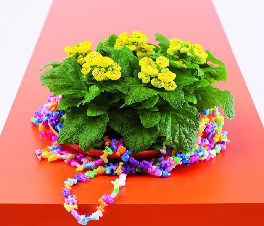 adelaparvu.com despre Calceolaria sau Papucul doamnei, Text Carli Marian, Foto Floradania (3)