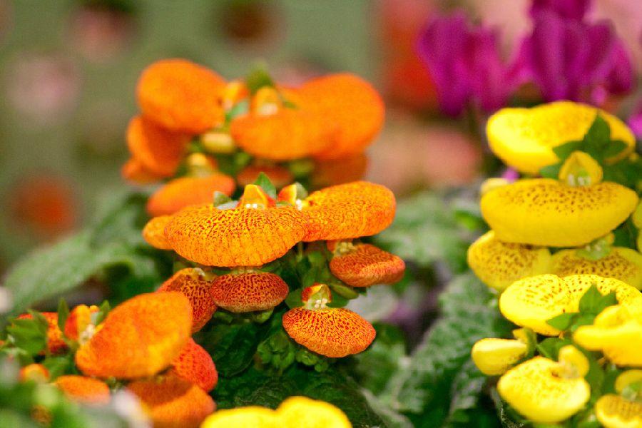 adelaparvu.com despre Calceolaria sau Papucul doamnei, Text Carli Marian, Foto Floradania (4)