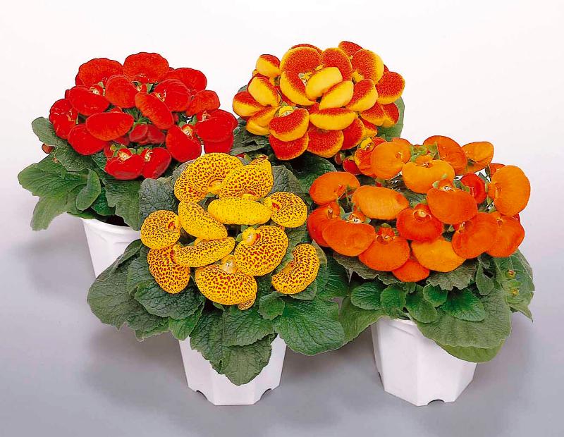 adelaparvu.com despre Calceolaria sau Papucul doamnei, Text Carli Marian, Foto Floradania (5)