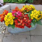 adelaparvu.com despre Calceolaria sau Papucul doamnei, Text Carli Marian, Foto Floradania (7)