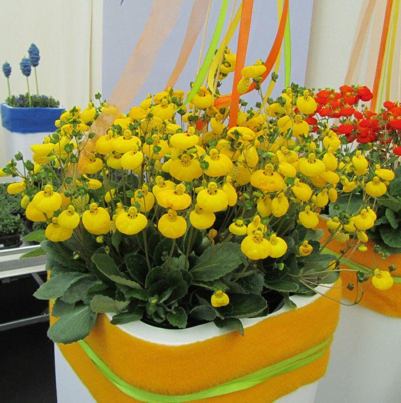 adelaparvu.com despre Calceolaria sau Papucul doamnei, Text Carli Marian, Foto Floradania (8)