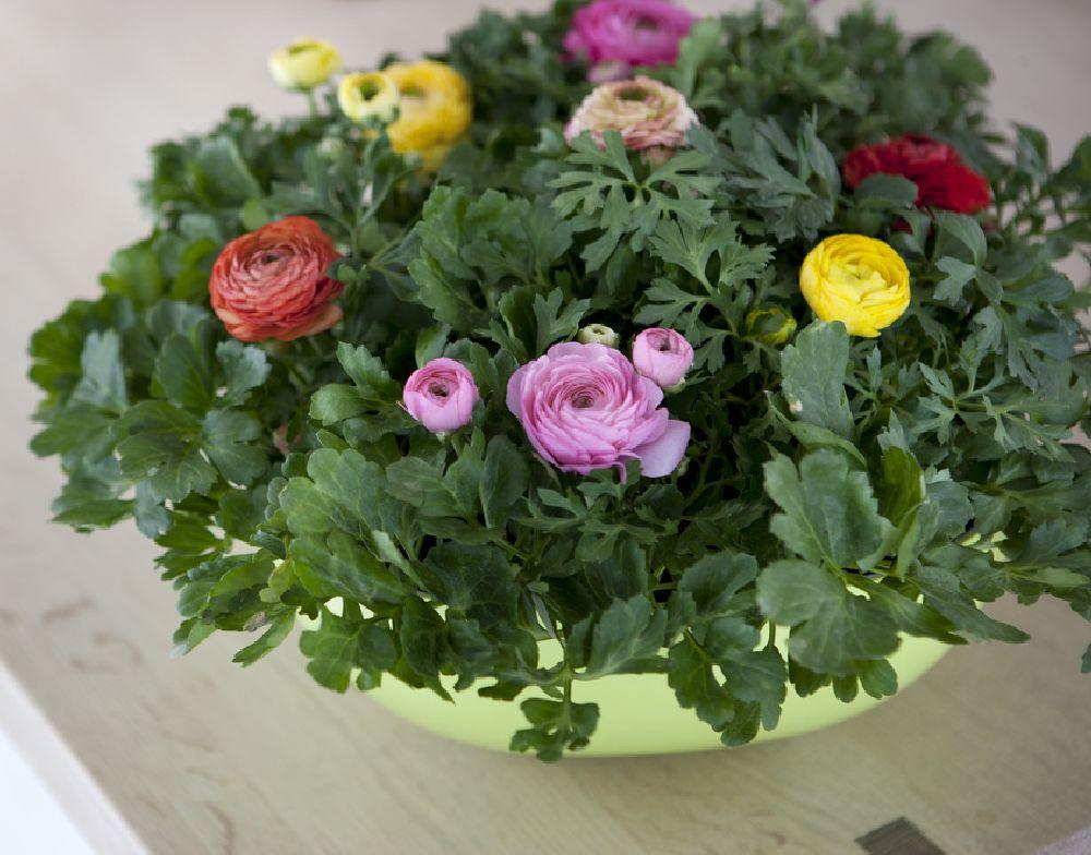 adelaparvu.com despre Ranunculus, Text Carli Marian, Foto Floradania (5)