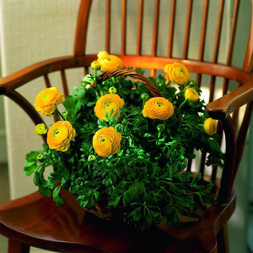 adelaparvu.com despre Ranunculus, Text Carli Marian, Foto Floradania (6)