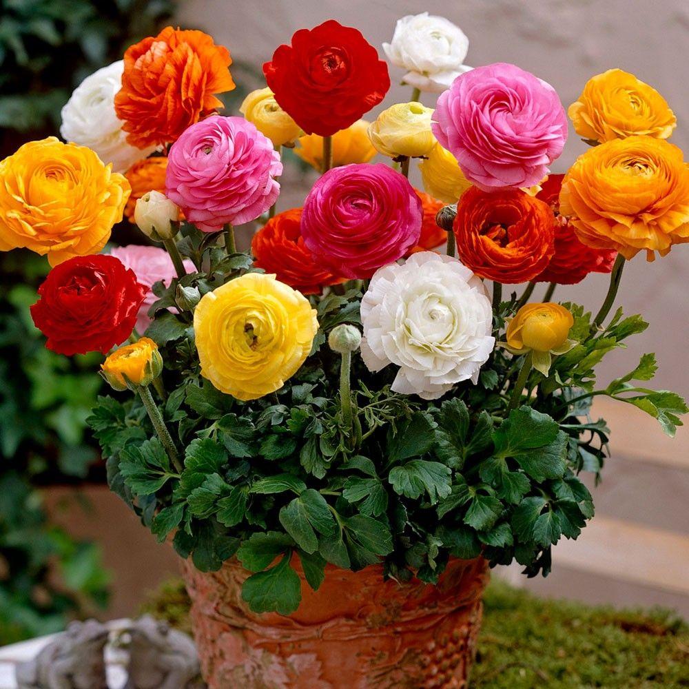 adelaparvu.com despre Ranunculus, Text Carli Marian, Foto JParkers 2