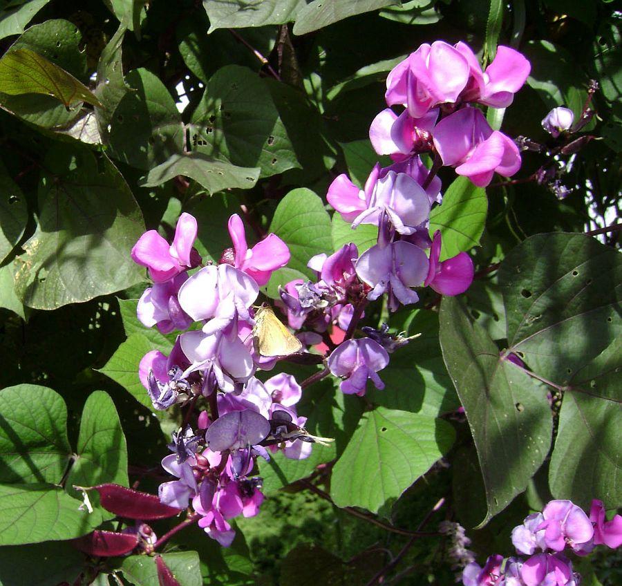 adelaparvu.com despre fasolea cataratoare, Hyacinth Bean, Text Carli Marian (5)