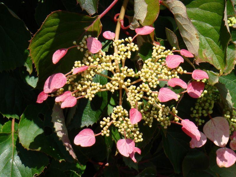 adelaparvu.com despre hortensia cataratoare, text Carli Marian, Schizophragma hydrangeoides roseum