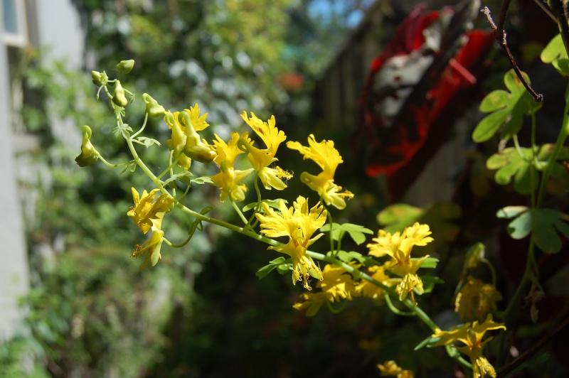 adelaparvu.com despre plante cataratoare, Tropaeolum Peregrinum, Text Carli Marian (2)