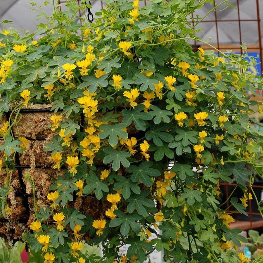 adelaparvu.com despre plante cataratoare, Tropaeolum Peregrinum, Text Carli Marian (3)