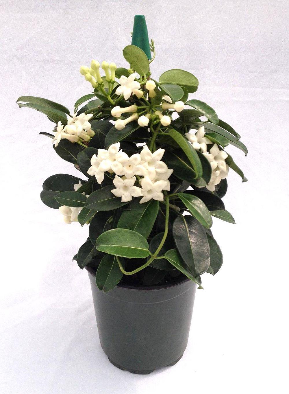 adelaparvu.com despre Iasomia de Madagascar, Stephanotis floribunda, text Carli Marian (4)
