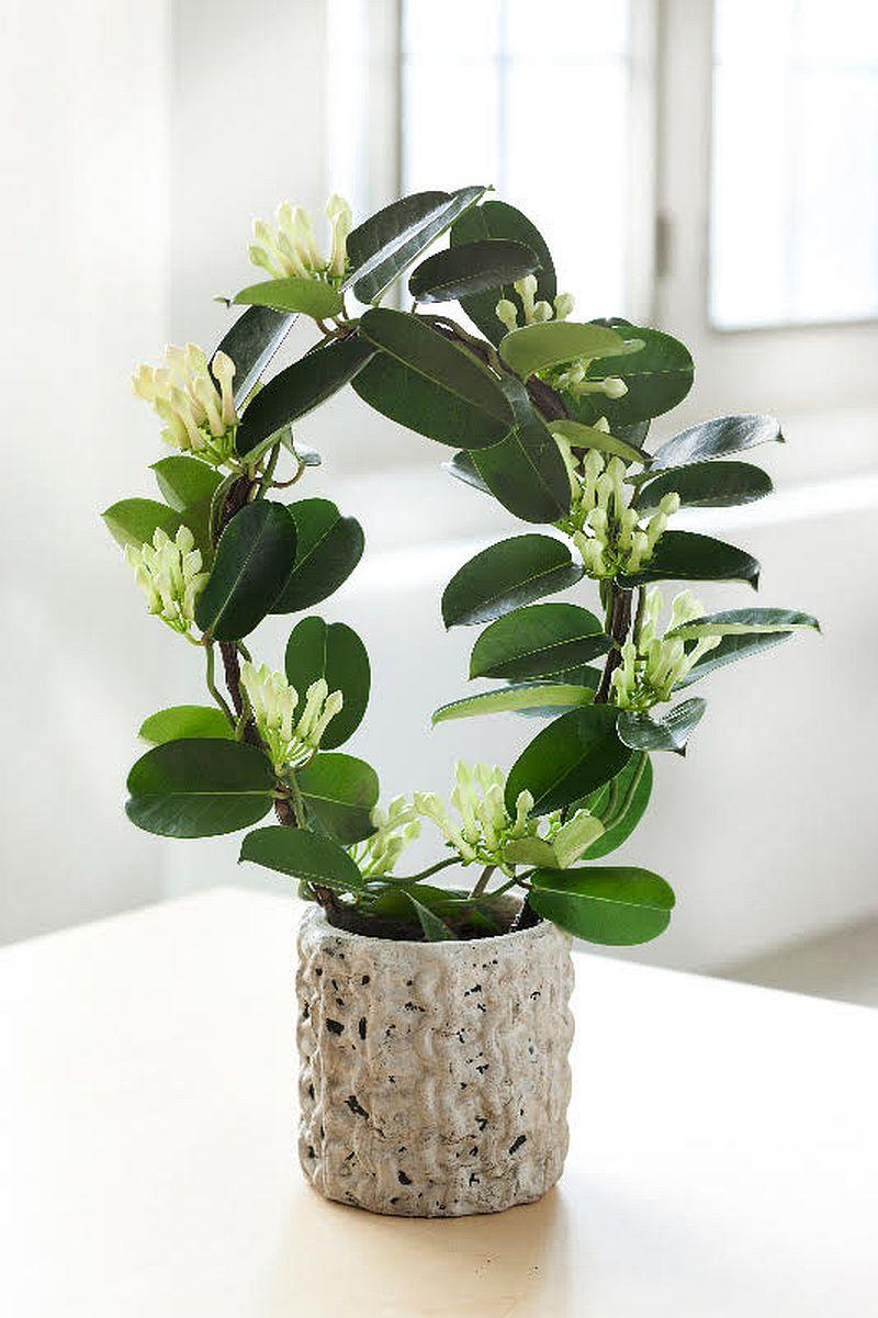 adelaparvu.com despre Iasomia de Madagascar, Stephanotis floribunda, text Carli Marian (5)