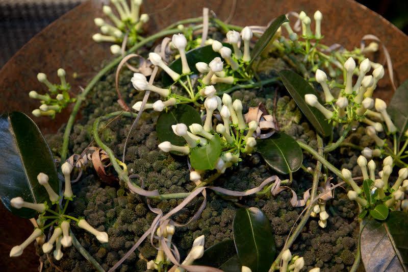 adelaparvu.com despre Iasomia de Madagascar, Stephanotis floribunda, text Carli Marian (9)