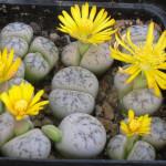 adelaparvu.com despre Pietre vii, plante sucuclente, Lithops, text Carli Marian
