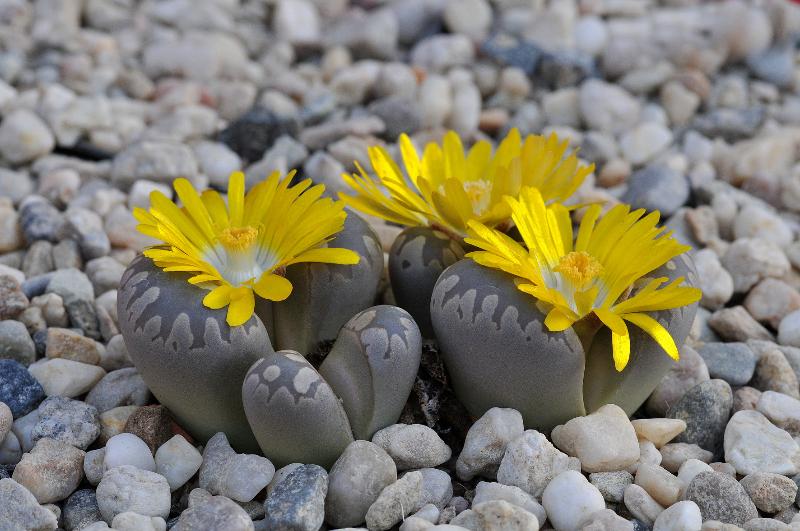 adelaparvu.com despre Pietre vii, plante sucuclente, Lithops, text Carli Marian (2)
