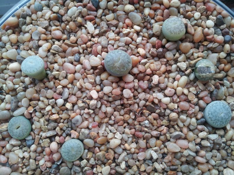 adelaparvu.com despre Pietre vii, plante sucuclente, Lithops, text Carli Marian 6