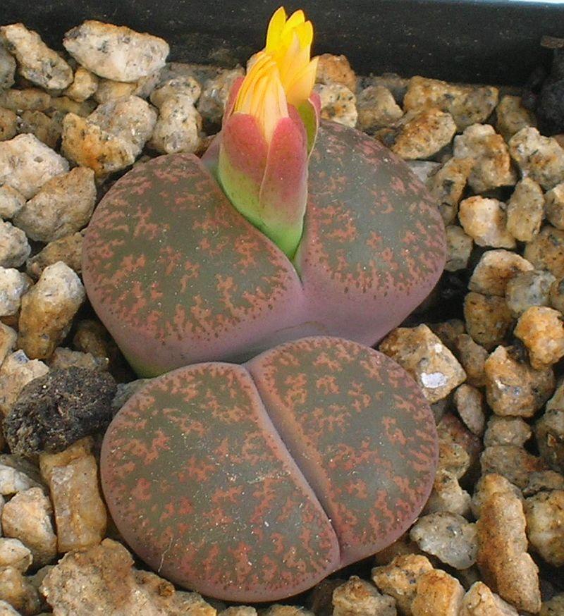 adelaparvu.com despre Pietre vii, plante sucuclente, Lithops, text Carli Marian, in foto Lithops lesliei rubrobrunnea