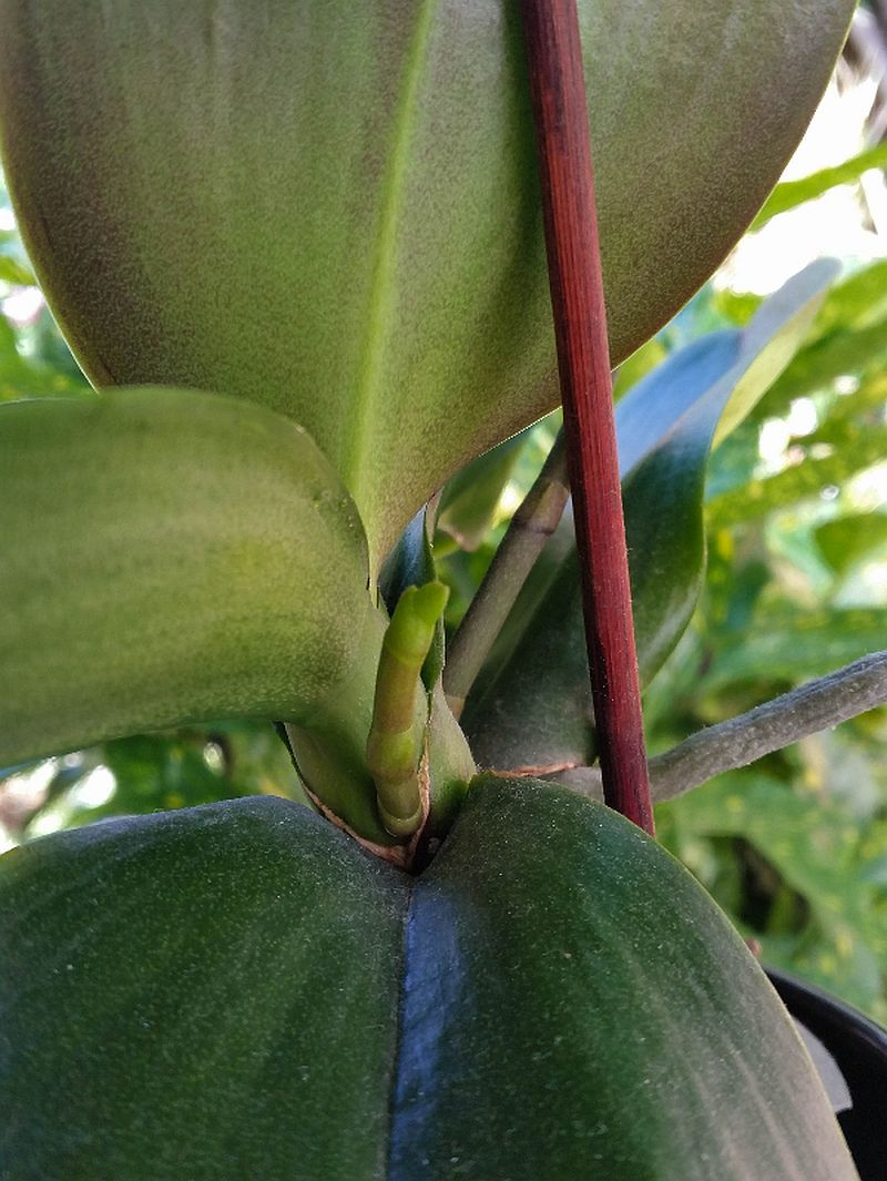 adelaparvu.com despre fertilizant orhidee, Pokon Powerspray pentru orhidee, text Carli Marian (6)