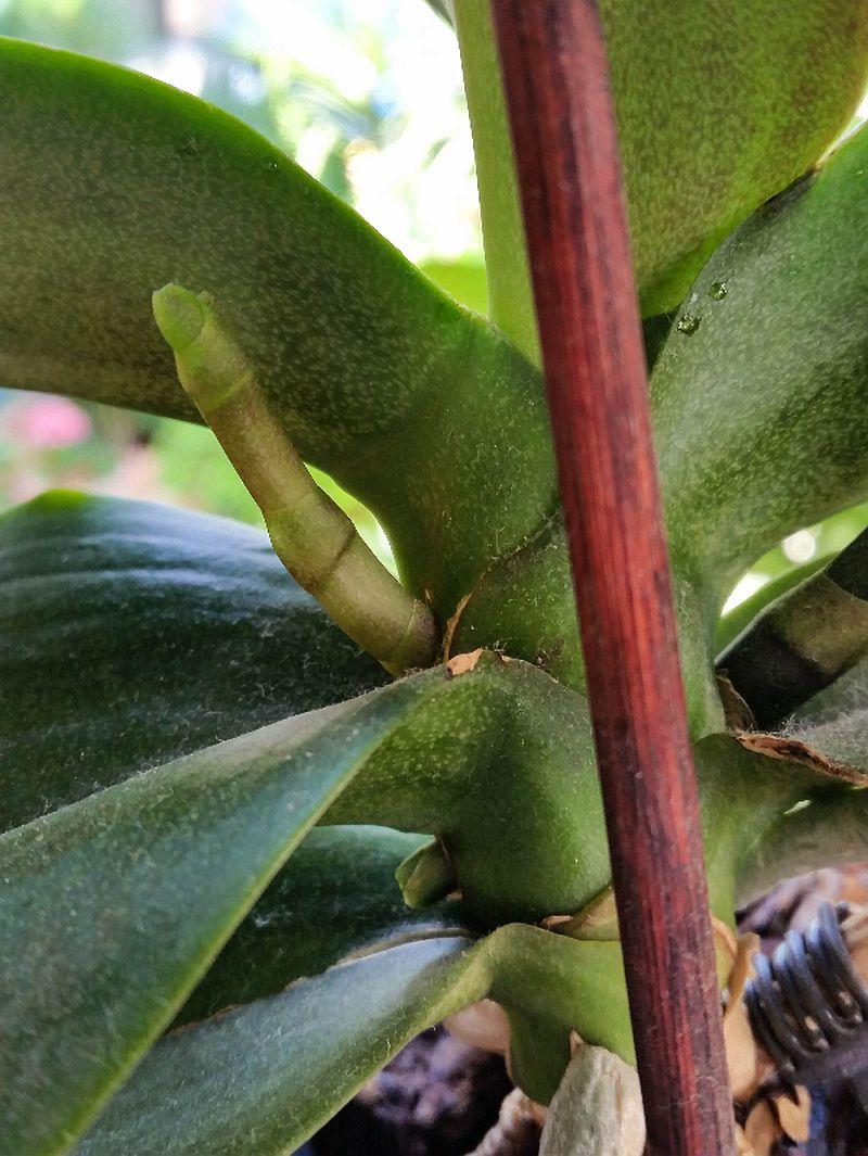 adelaparvu.com despre fertilizant orhidee, Pokon Powerspray pentru orhidee, text Carli Marian (7)