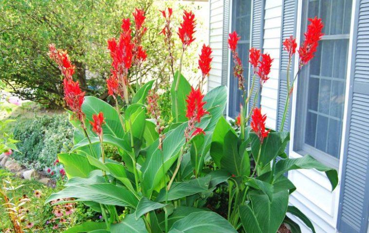 adelaparvu.com despre Canna indica planta cu flori, seminte pentru bijuterii (7)