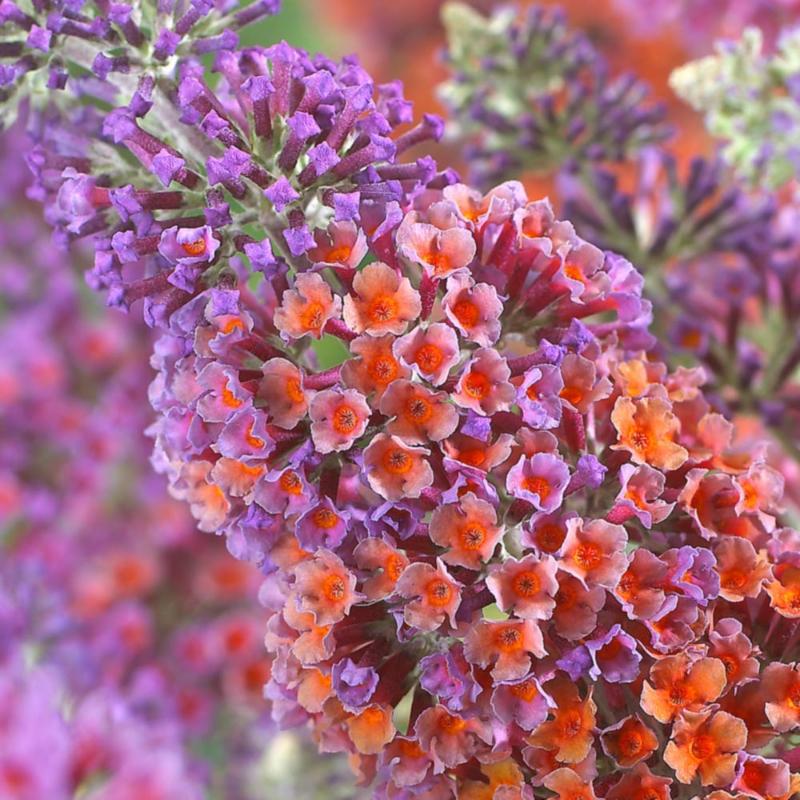 adelaparvu.com despre top 5 arbusti cu flori frumoase, Buddleja weyeriana flower power, text Carli Marian (1)