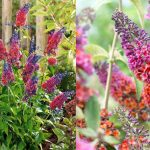 adelaparvu.com despre top 5 arbusti cu flori frumoase, Buddleja weyeriana flower power, text Carli Marian (3)