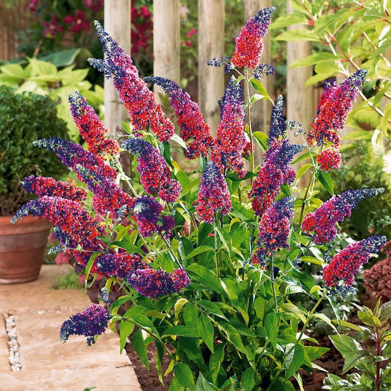 adelaparvu.com despre top 5 arbusti cu flori frumoase, Buddleja weyeriana flower power, text Carli Marian (4)