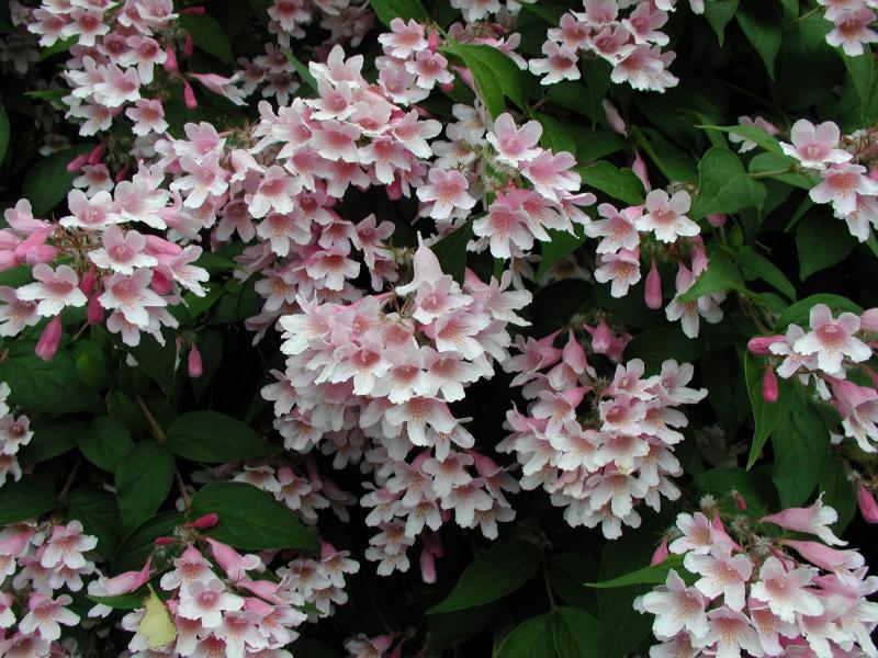 adelaparvu.com despre top 5 arbusti cu flori frumoase, Kolkwitzia amabilis, Text Carli Marian (1)