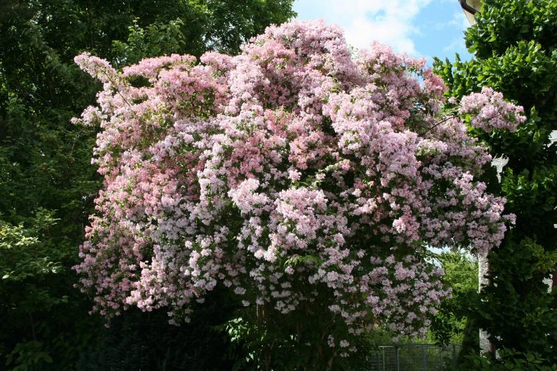 adelaparvu.com despre top 5 arbusti cu flori frumoase, Kolkwitzia amabilis, Text Carli Marian (2)