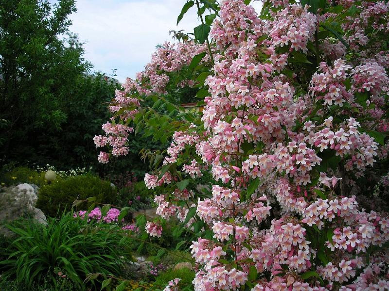 adelaparvu.com despre top 5 arbusti cu flori frumoase, Kolkwitzia amabilis, Text Carli Marian (3)