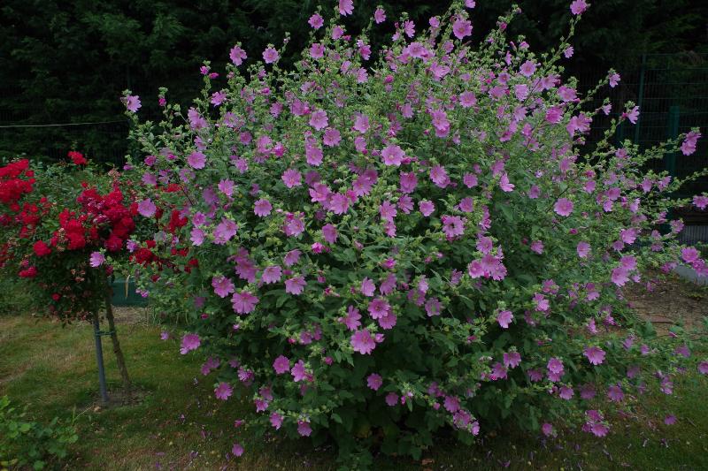 adelaparvu.com despre top 5 arbusti cu flori frumoase, Lavatera Rosea, Text Carli Marian 2