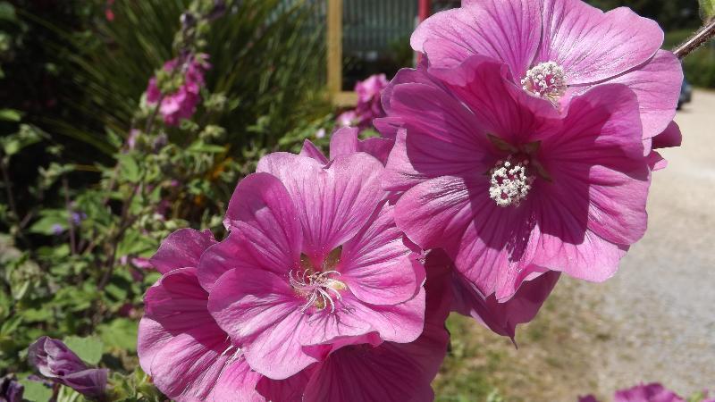 adelaparvu.com despre top 5 arbusti cu flori frumoase, Lavatera Rosea, Text Carli Marian