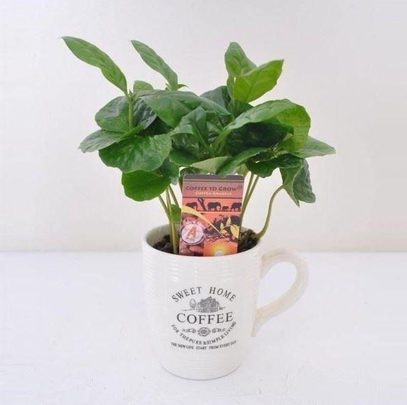 adelaparvu.com despre Coffea arabica, arborele de cafea, Text Carli Marian (1)