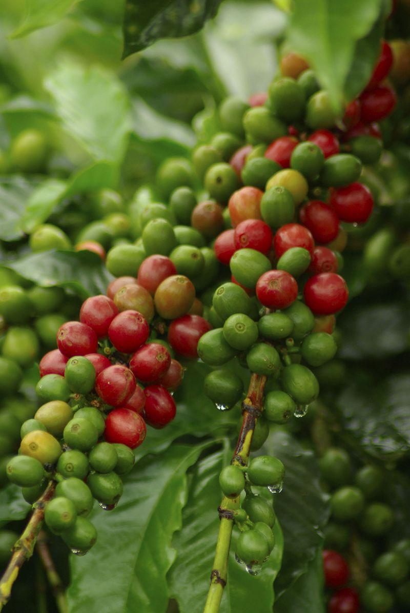 adelaparvu.com despre Coffea arabica, arborele de cafea, Text Carli Marian (2)