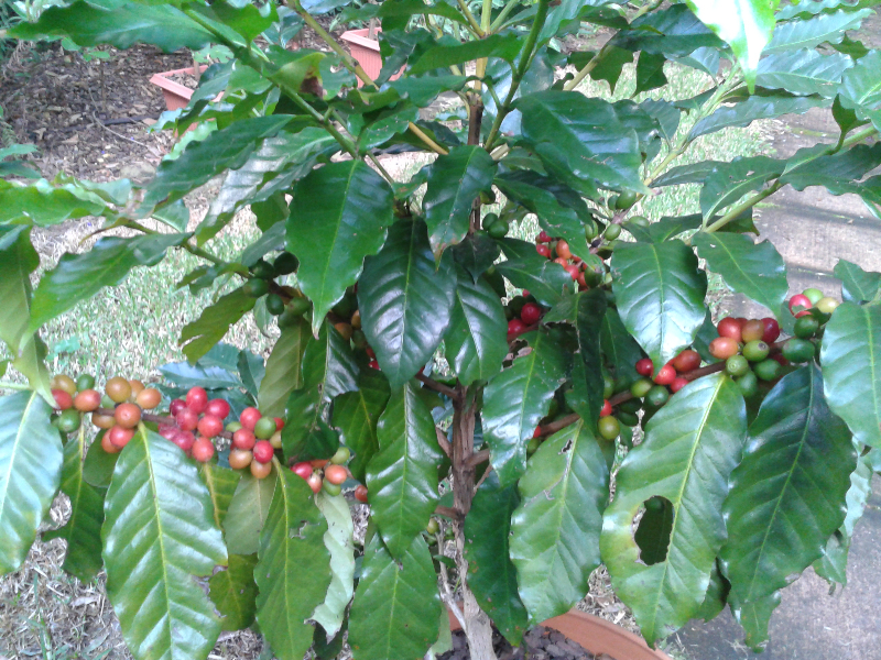 adelaparvu.com despre Coffea arabica, arborele de cafea, Text Carli Marian (4)
