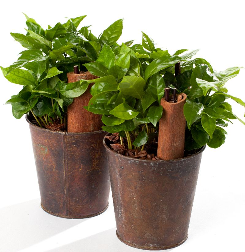 adelaparvu.com despre Coffea arabica, arborele de cafea, Text Carli Marian (6)