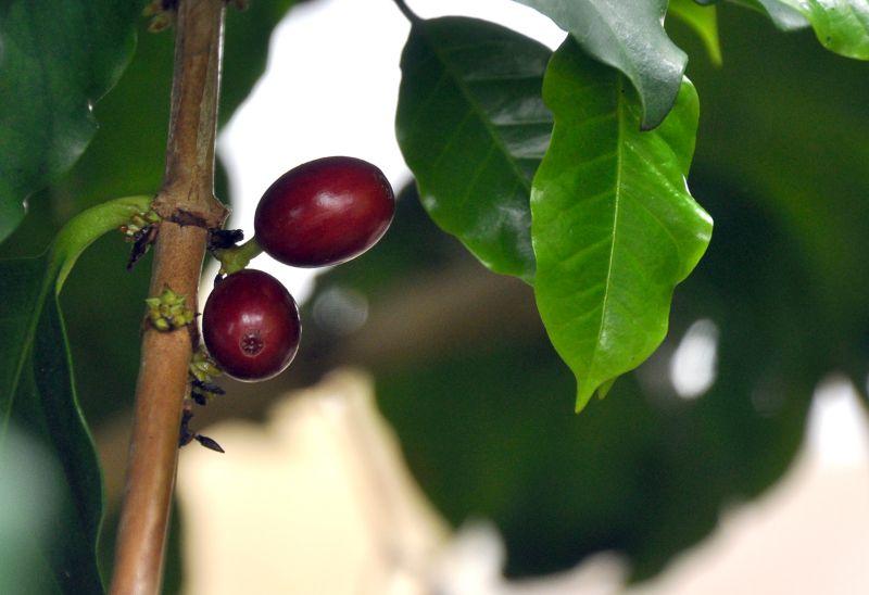 adelaparvu.com despre Coffea arabica, arborele de cafea, Text Carli Marian (7)
