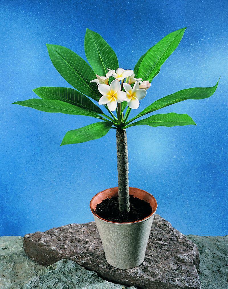 adelaparvu.com despre Plumeria, Frangipani, Text Carli Marian, Foto Floradania (3)