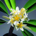 adelaparvu.com despre Plumeria, Frangipani, Text Carli Marian, Foto Floradania (4)