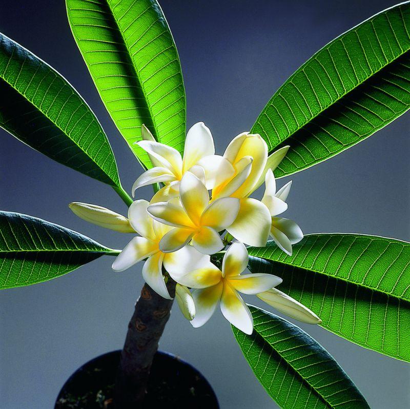 adelaparvu.com despre Plumeria, Frangipani, Text Carli Marian, Foto Floradania (5)